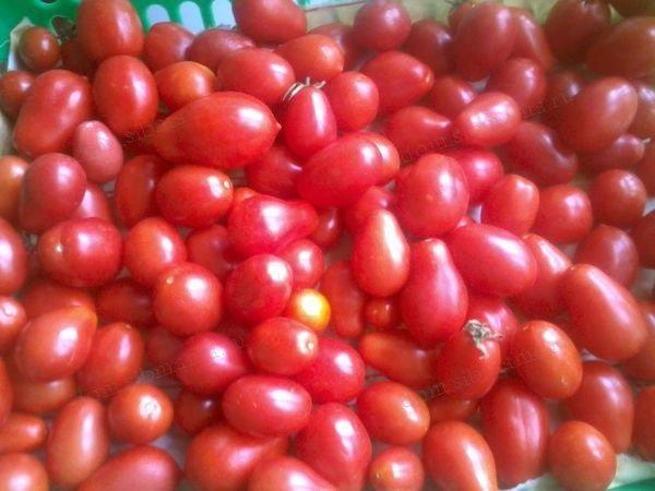Описание сорта томата Желтый шар, особенности выращивания и ухода – Дачные дела