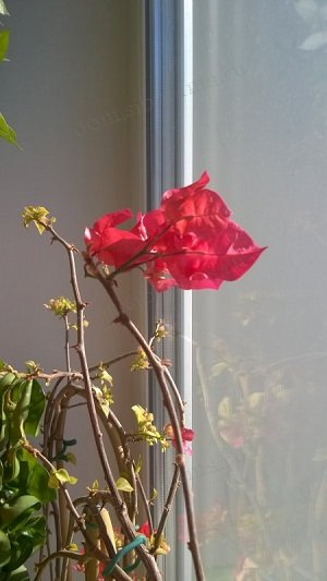 Bougainvillea San Diego Red