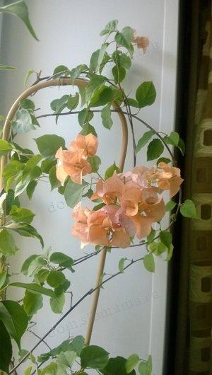 Bougainvillea Bois De Roses