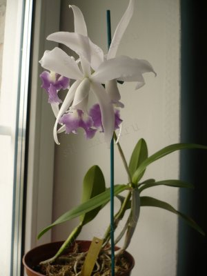 Laeliocattleya Interceps var. coerulea 'Blue Eye'
