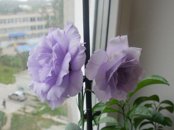 Эустома. Первое цветение эустомы Эхо F1 Лавандовая от Гавриш в середине июля, посев 20 ноября. Фото Надья