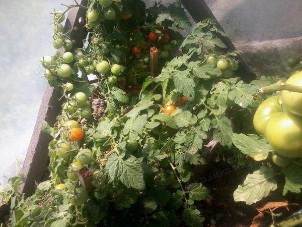 Описание сорта томата Японский карлик и урожайность