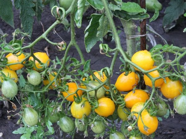 Лучшие сорта томатов коктейльных: посадка и уход