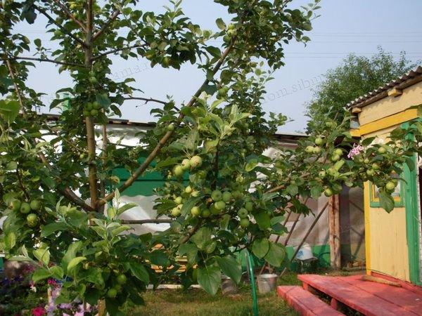 примета: Нельзя самому рубить свои плодовые деревья на даче