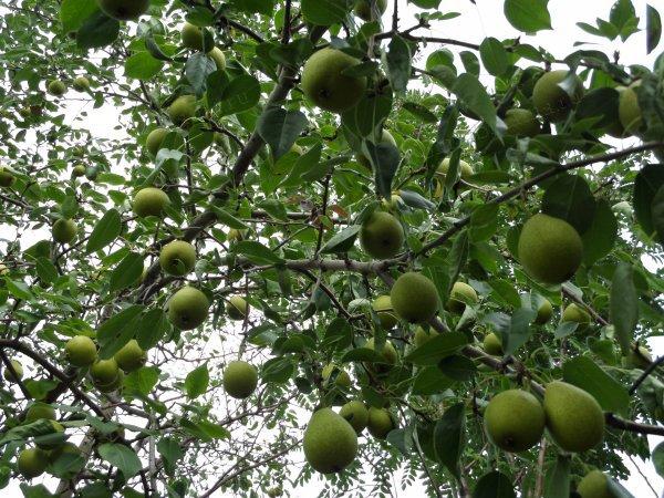 приметы: Нельзя самому рубить свои плодовые деревья на даче