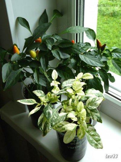Комнатные перцы сорт сорта Свечки, Мамбо оранжевый