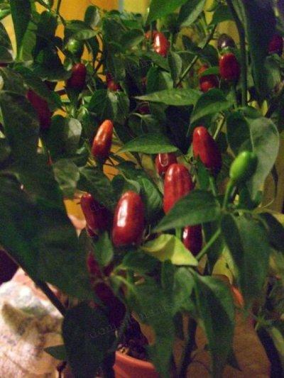 Комнатные перцы урожай
