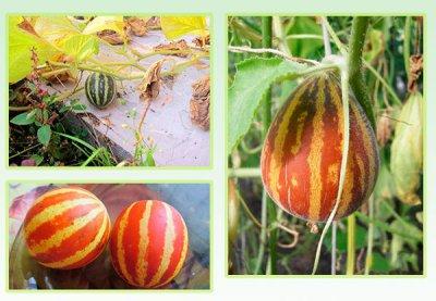 Дыня Хасанка: где растет, как выращивать правильно, как выбрать при покупке