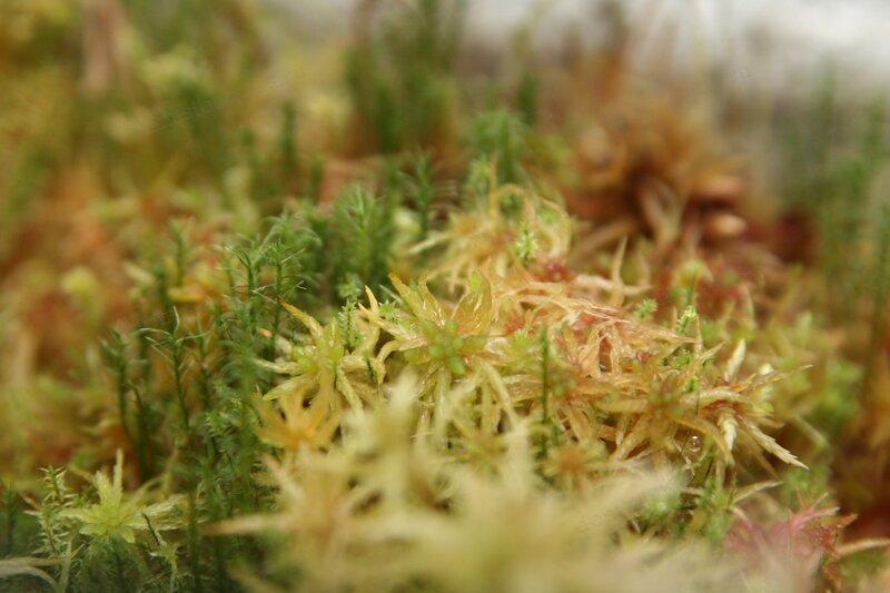 Мох сфагнум – живой мох для выращивания орхидей