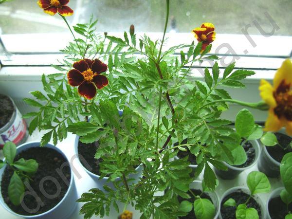 Приятные мелочи в выращивании рассады
