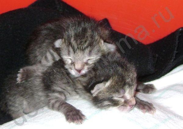 Как выкормить котенка без кошки (50 фото): вскармливание новорожденных, как выходить, описание, видео