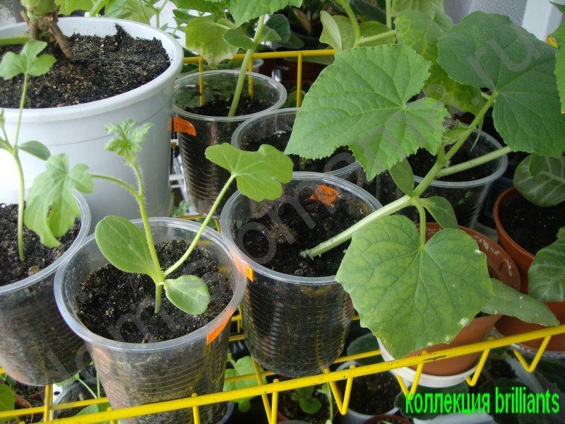Выращивание рассады арбузов и дынь (home.help.dachasibmama) .