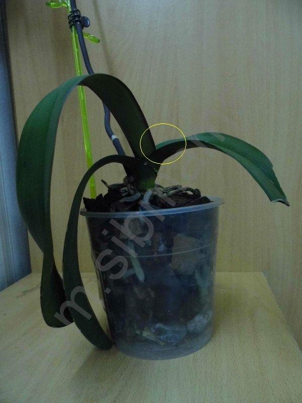 Фаленопсис - первая орхидея