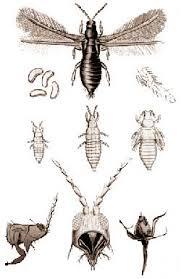 трипсы; паразиты гладиолусов