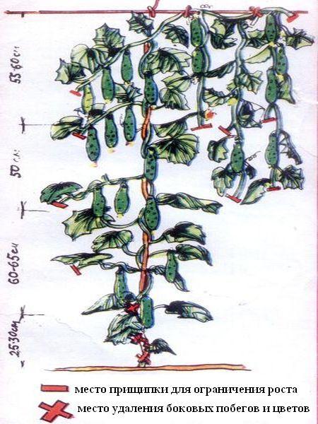 Огурцы на балконе выращивание пошагово прищипывание 91