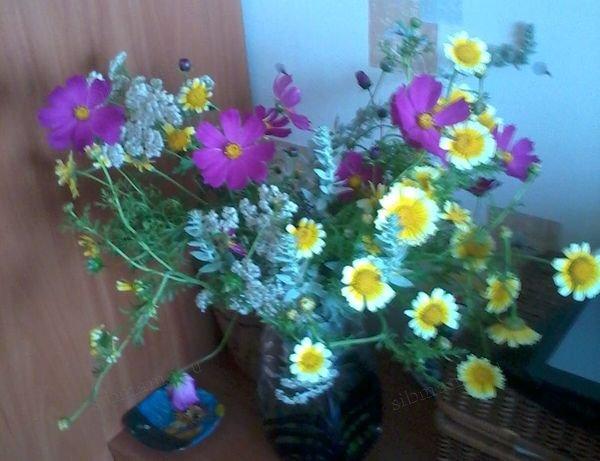 космеи и хризантемы на даче