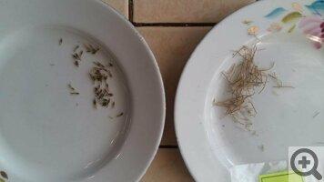 Прострел из семян посадка и уход в открытом грунте