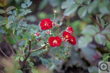 Роза или шиповник как отличить
