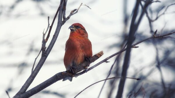 Клест. Птицы Новсибирска