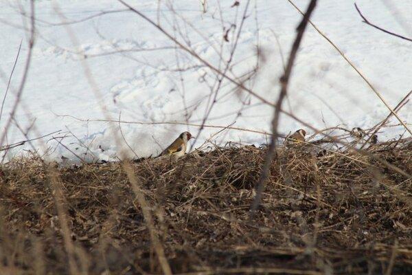 Щегол. Птицы Новсибирска