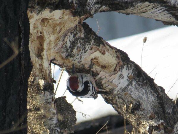 Белоспинный дятел самец